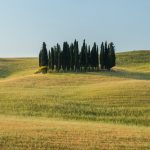 group of cypresses tuscany Italy