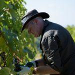 A man picking grapes